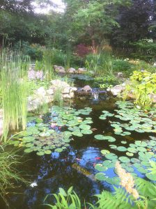 Natural Pond with lillies
